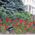 В подарок гомельчанам - алые розы