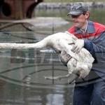 Обитатели Лебяжьего пруда в Гомеле возвращаются домой после зимовки