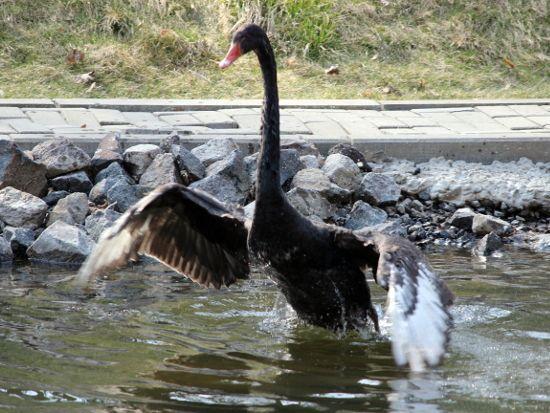 В Лебяжьем пруду поселилась пара черных красавцев