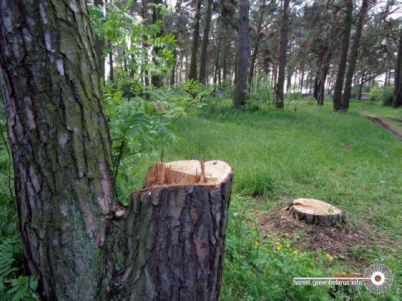 «Космический» лес в Гомеле снова рубят?