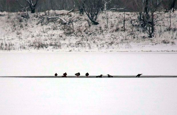 Гомельчане спасли чернозобых гагар на Любенском озере