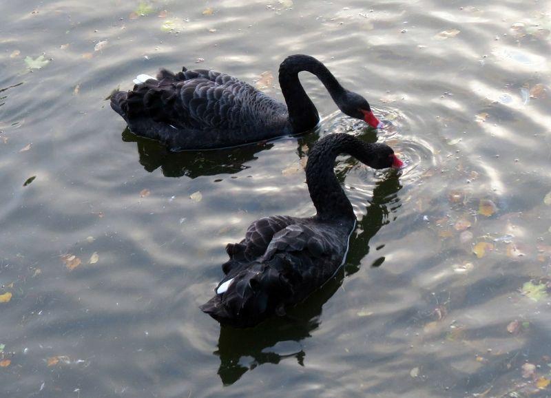 В гомельском парке у пары чёрных лебедей родился птенец