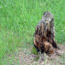 Спилили деревья, которые не попадают в пятно будущей застройки ни при каких обстоятельствах.